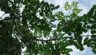 ما هي فوائد شجرة المورينجا