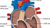 الحمل ودقات القلب السريعة