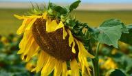 فوائد لب عباد الشمس