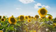 فوائد حب دوار الشمس