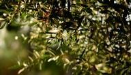 فوائد شجرة الزيتون