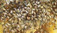 فوائد غذاء ملكات النحل للرجال