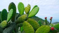 فوائد نبات الصبار