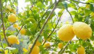 فوائد عشبة الليمون