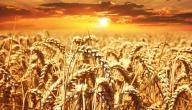 فوائد القمح