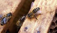 علاجات منزلية للدغات النحل