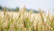 فوائد جنين القمح للبشرة