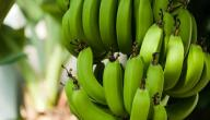 هل يؤكل الموز الأخضر؟