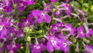 ما هو نبات اللوبيليا؟