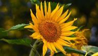 فوائد عباد الشمس