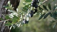 فوائد اوراق الزيتون