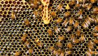 فوائد غذاء ملكات النحل مع العسل