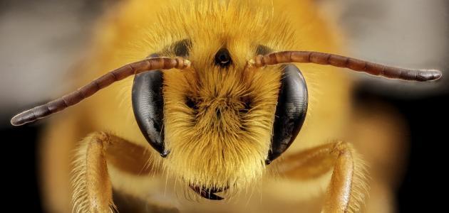 ماهي فوائد لسعات النحل