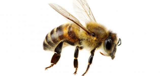 اعراض لسعة النحل