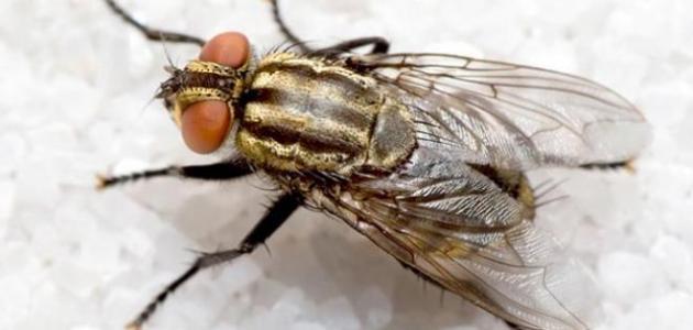 امراض يسببها الذباب