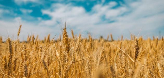 مرض حساسية القمح