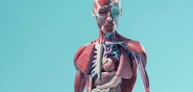 بحث عن أجهزة جسم الإنسان