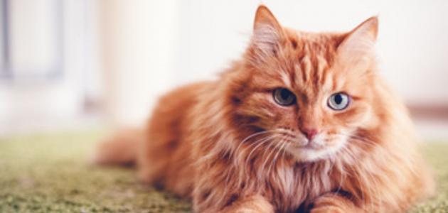 كيف يمكن علاج الحساسية من القطط؟