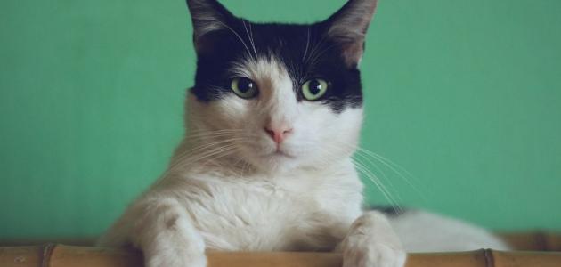 ما أعراض فوبيا القطط؟