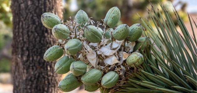 هل يخفف نبات اليوكا من ألم التهاب المفاصل؟
