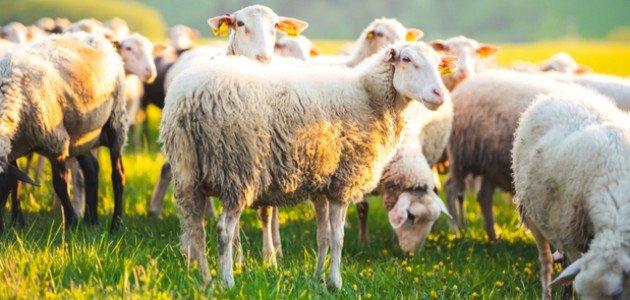 فوائد لحم الخروف