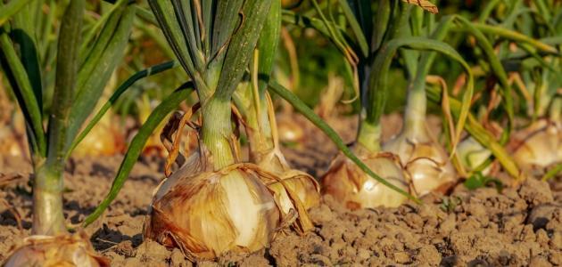 ما هي فوائد البصل