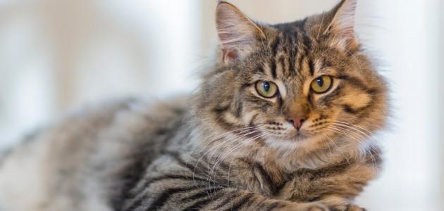 أمراض تسببها القطط