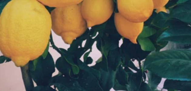 فوائد اوراق الليمون